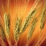 What is the difference between wheat-free and gluten-free?